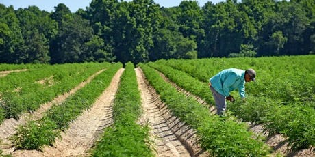 hemp cultivation
